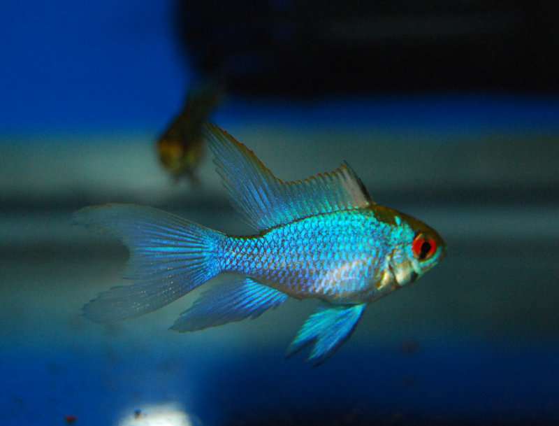 Longfin Electric Blue Ram #80