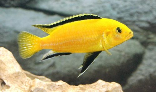 Electric-Yellow-Cichlid-Labidochromi-Caeruleus