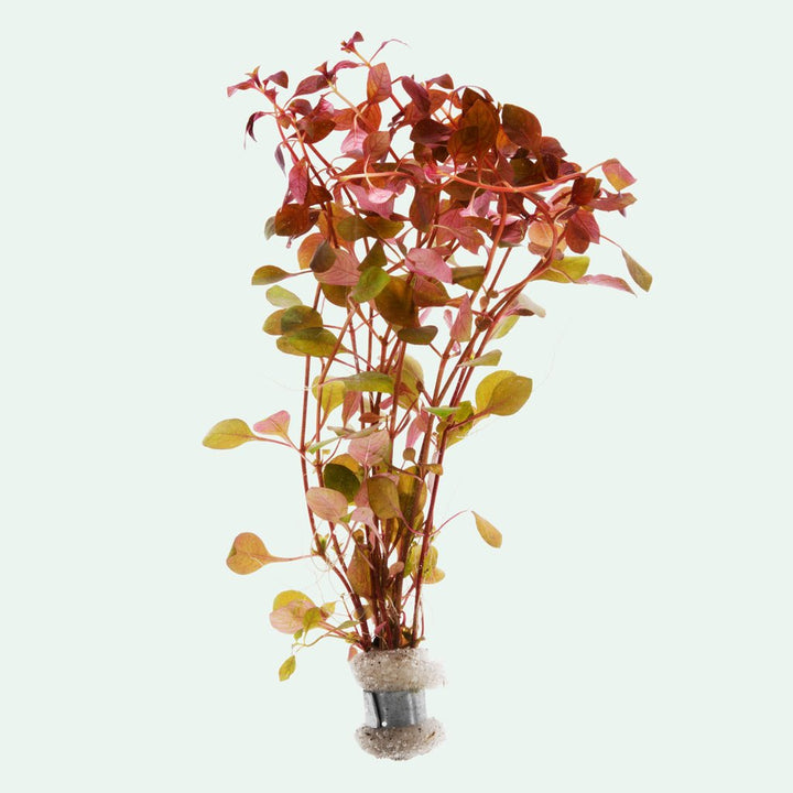 Ludwigia Natans 'Super Red' Bunch