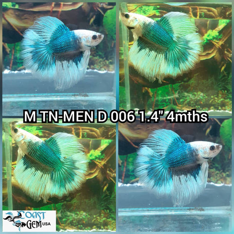 (MEN-006) Green Dragon BF Halfmoon Male Betta
