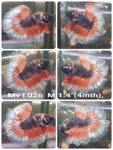 C379(MV-026) Grizzle Fancy Double Tail Halfmoon Male Betta