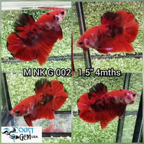 (NK-002) Koi HM.PK. Male Betta