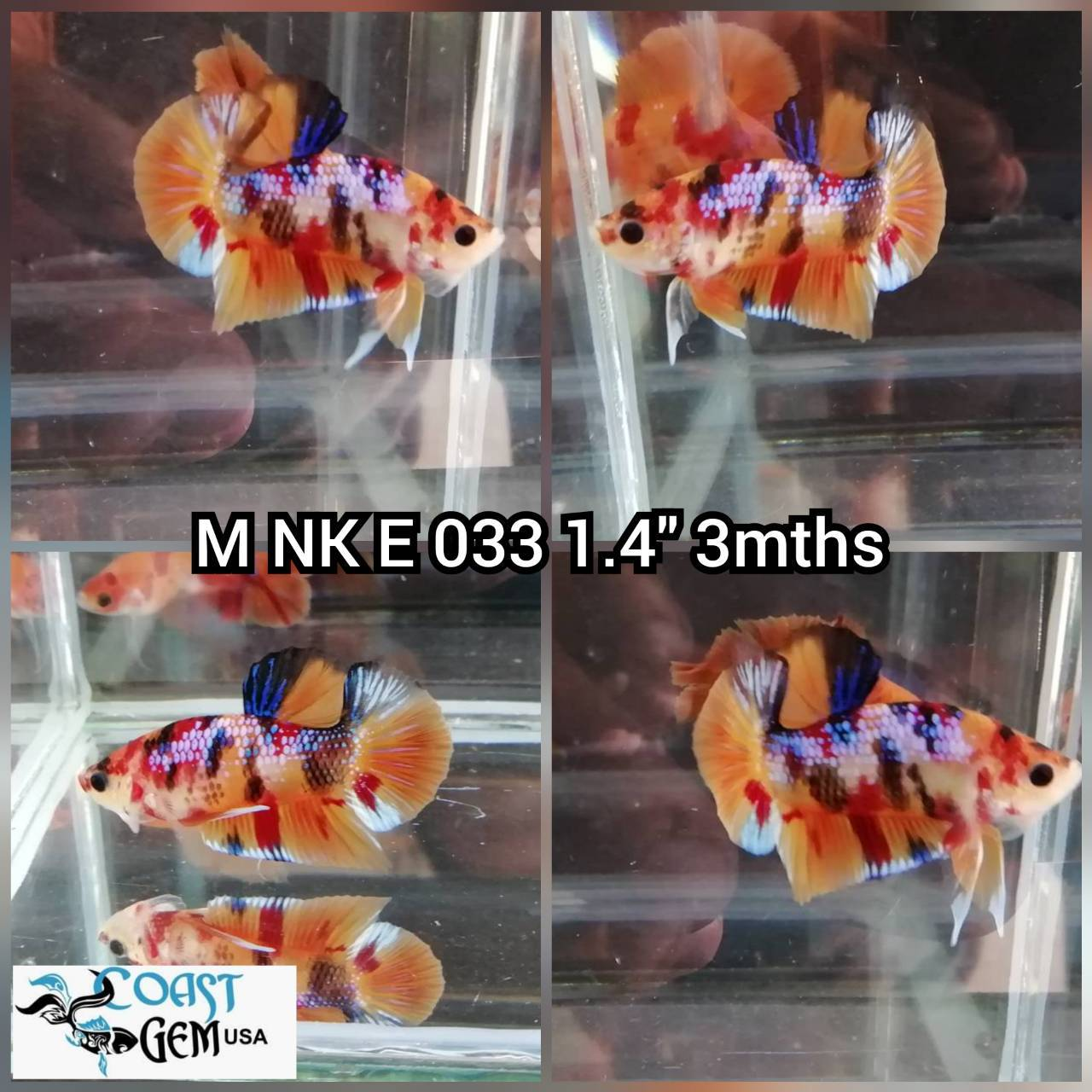 (NK-033) Nemo Canby Galaxy PK. Male Betta