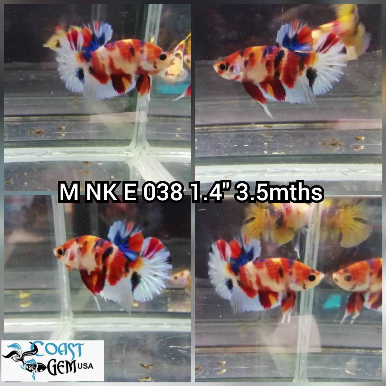 (NK-038) Nemo Canby PK. Male Betta