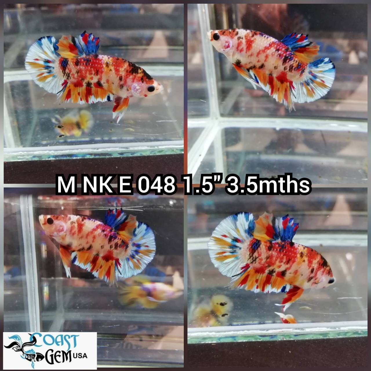 (NK-048) Canby Multicolor PK. Male Betta
