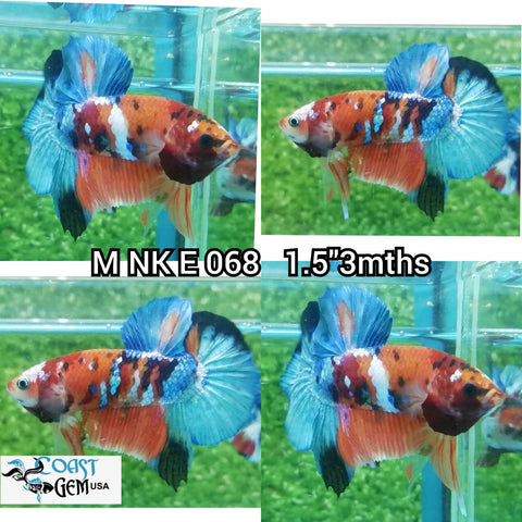 (NK-068) Red Koi Galaxy Plakat Male Betta