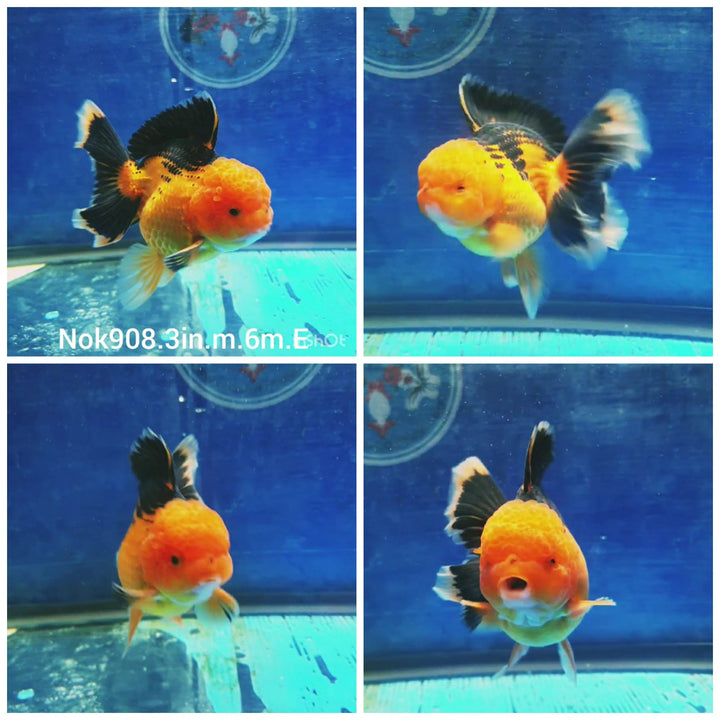 (NOK-908) High quality Ranchu Red Head White Tri Color Short Tail Male GoldFish