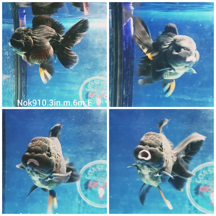 (NOK-910) High quality Ranchu Lemon Head White and Red Tri Color Short Tail Male GoldFish