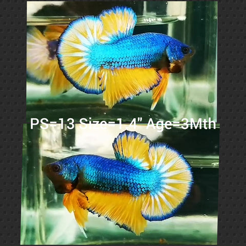 Mustard Gas Plakat Male Betta (PS-13)P 10/13