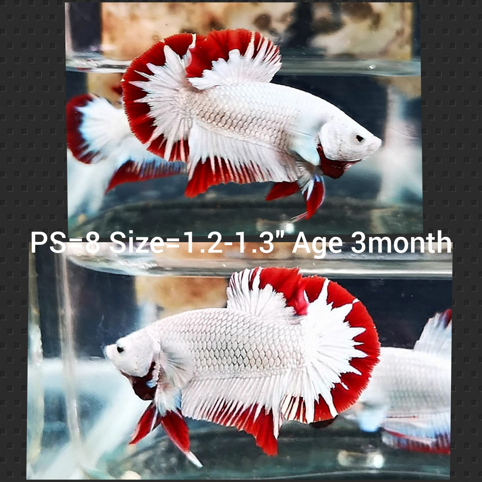 Red Dragon Star Tail Plakat Male Betta (PS-8)P 10/13