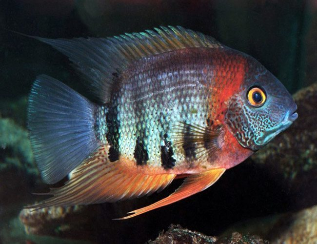 (TROP-057) Red Shoulder Severum 2 inch #57