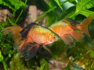 Longfin Rosy Barb #134
