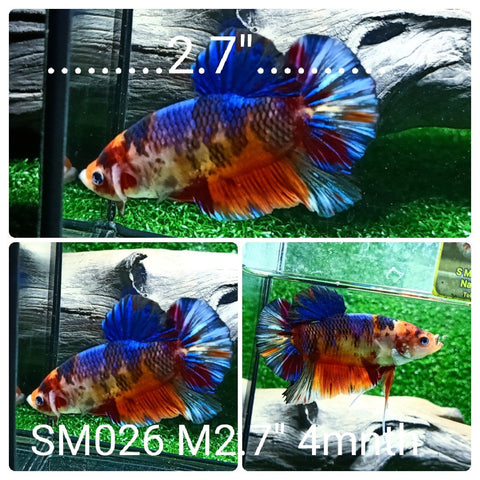 (SM-026) Giant Fancy Grizzle Candy Plakat Male Betta