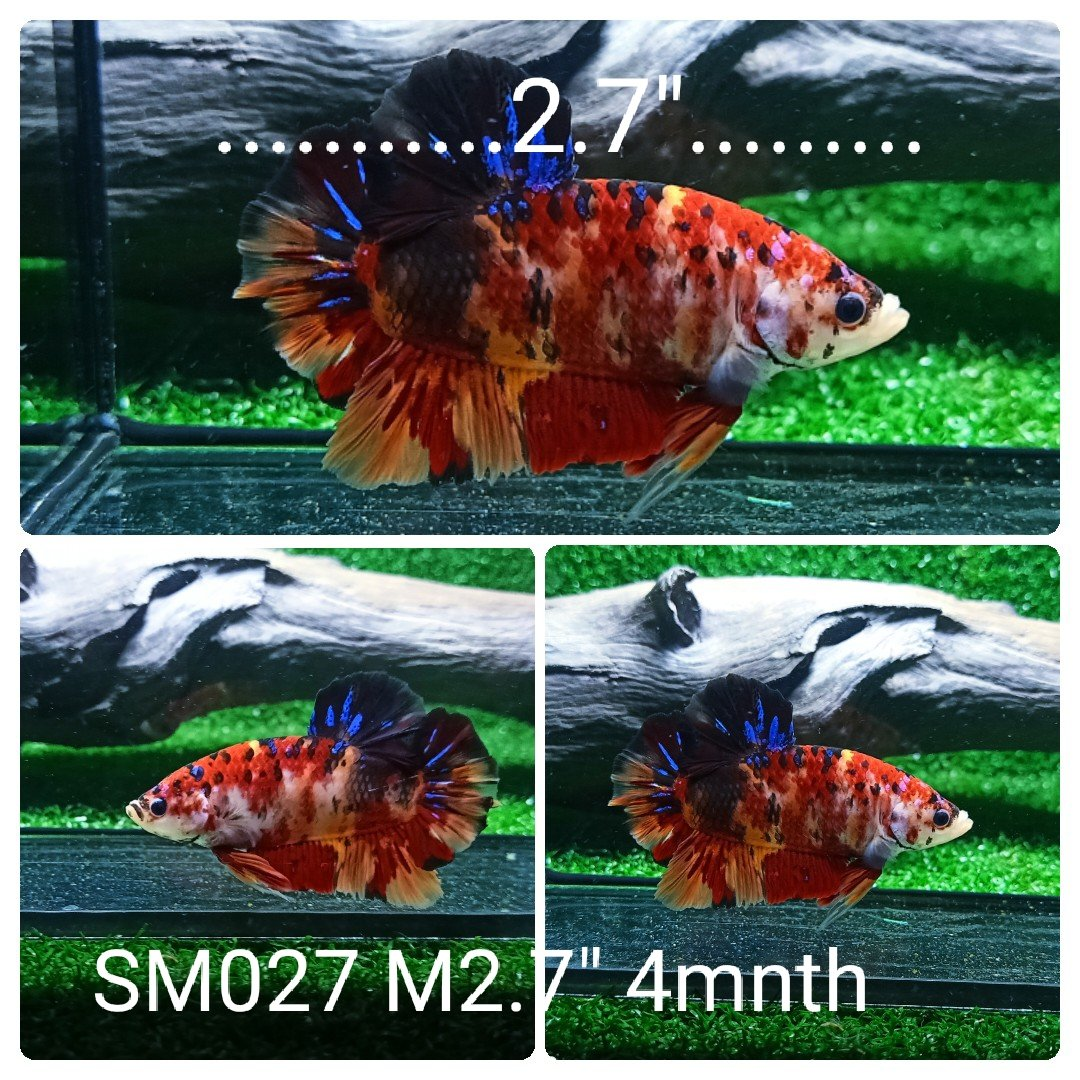 (SM-027) Giant Tiger Koi Galaxy Plakat Male Betta