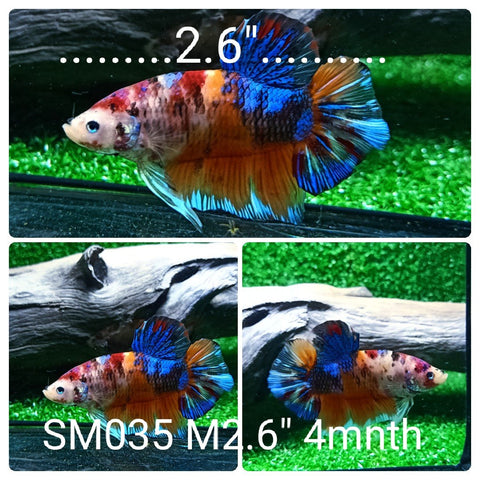 (SM-035) Giant Fancy Nemo Galaxy Plakat Male Betta