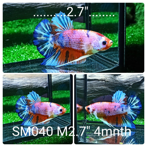 (SM-040) Giant Fancy Marble Candy Galaxy Plakat Male Betta