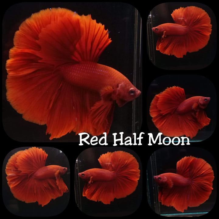 Super Red Halfmoon Rosetail Male Betta (TOOK-792)