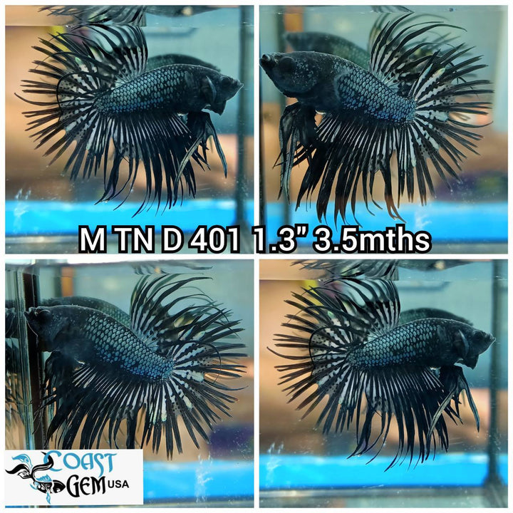 (TN-401) Black Dragon Crowntail Male Betta