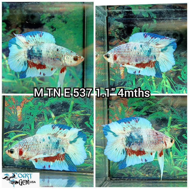 (TN-537) Blue Fancy Marble Double Tail Plakat Male Betta