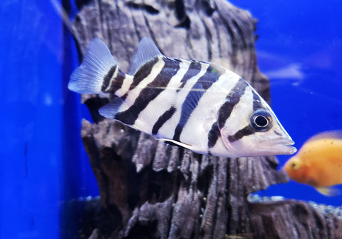 Indonesian Tiger Datnoid 4.00 inch (Datnioides microlepis)
