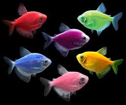 GloFish 5-Pack Assorted Tetra (Gymnocorymbus sp.)