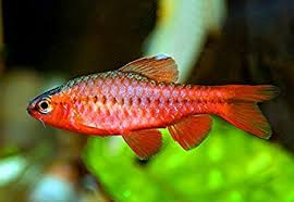 Longfin Cherry Barb #170