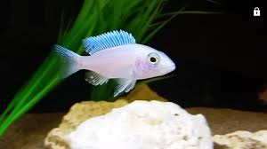 White Knight Cichlid (Sciaenochromis Fryeri Sp. White Knight) #74
