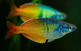 Bosemani Rainbowfish #138