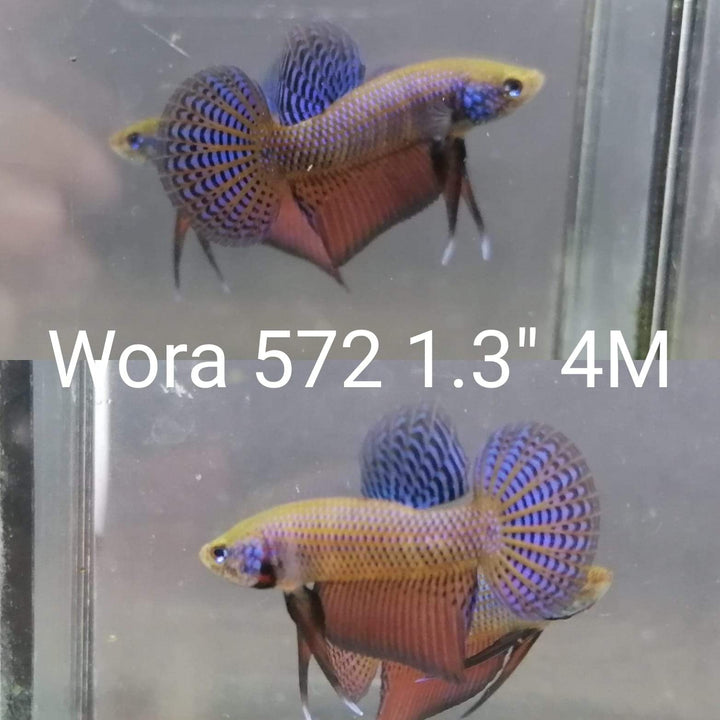 (WORA-572) Guitar Wild Male Betta