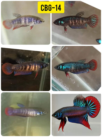 (CBG-14) Imbellis Wild Female Color Mix Green, Blue, Yellow Buy 4 Get 1 Free $60,  Buy 1 for $15