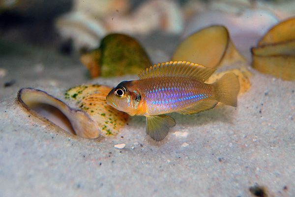 Gold Occies Cichlid #118