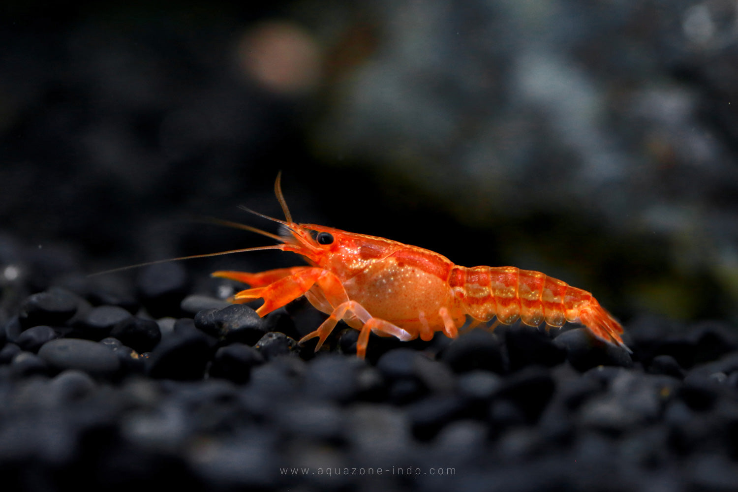 Orange CPO Dwarf Crayfish (Cambarellus patzcuarensis var. 'Orange')