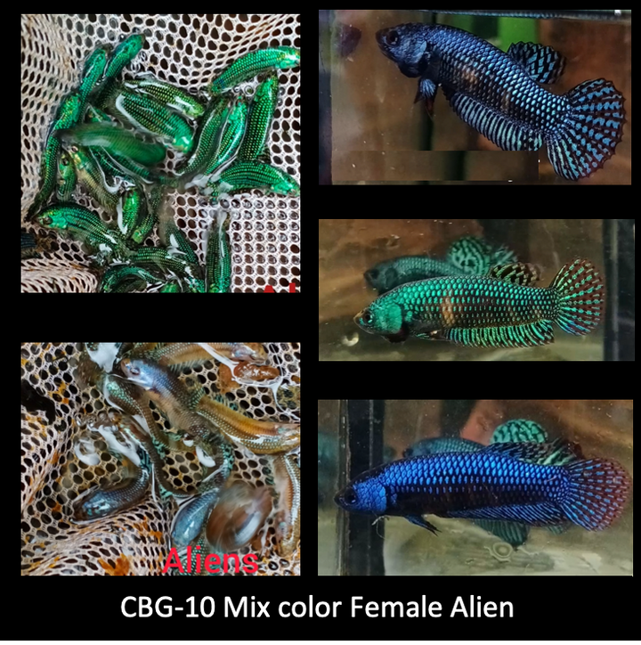 (CBG-10)Alien Female Mix Hybrid  Blue, Green, Gray, Turquoise Buy 4 Get 1 Free $60,  Buy 1 for $15
