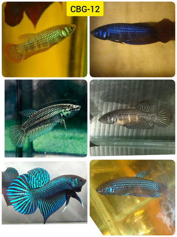 (CBG-12)Wild Mahachai Color Mix Green, Turquoise, Blue  Buy 4 Get 1 Free $60,  Buy 1 for $15