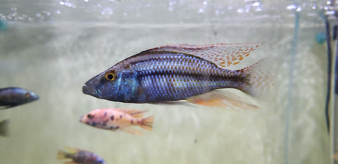 Compressiceps Cichlid (Dimidochromis Compressiceps) 4.00-5.00 inch