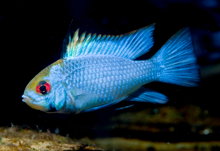 (TROP-079) Electric Blue Ram (Mikrogeophagus ramirezi)