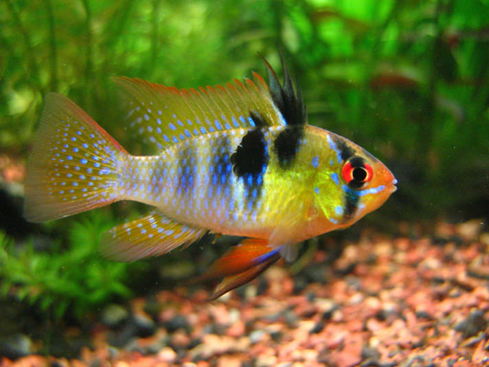 German Blue Ram ( Microgeophagus Ramirezi ) #75