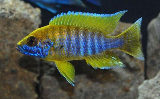 (TROP-065) Yellow Jacob Peacock Cichlid # 65