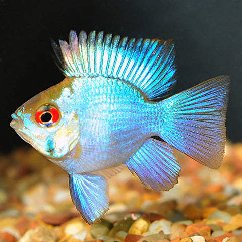 Balloon Electric Blue Ram #81