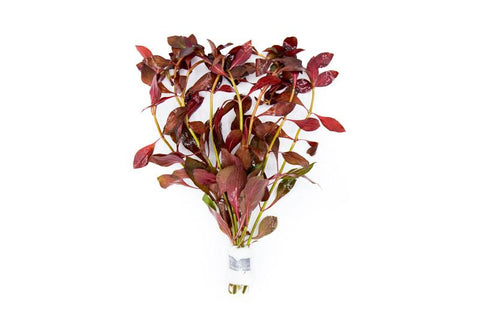 Ludwigia Peruensis 'Diamond' Bunch