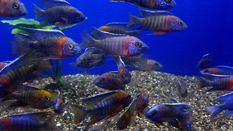 red-shoulder-blue-peacock-cichlid-aulonocara-hansbaenschi