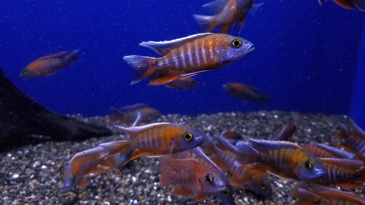 red-jacob-peacock-cichlid-aulonocara-jacobfreibergi