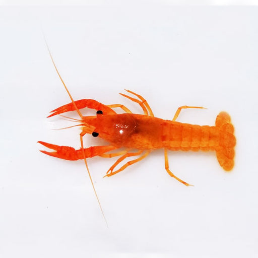 bright-orange-alleni-crayfish-procambarus-alleni