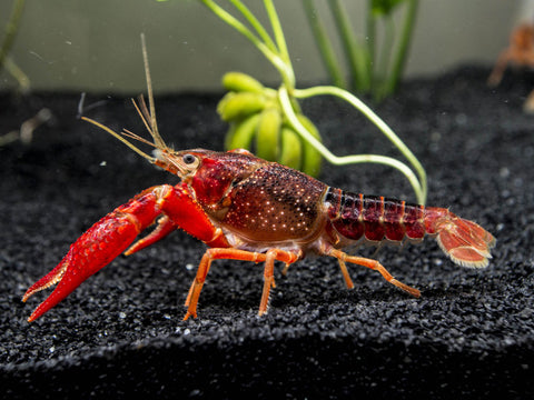 Red Japan Crayfish (Procambarus Clarkii )  2.00in