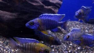 yellow-shoulder-peacock-cichlid-aulonocara-maulana