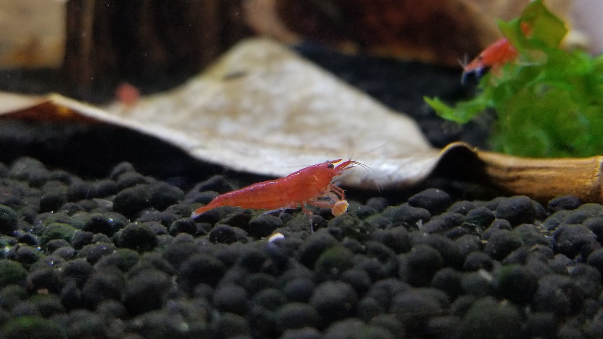 Cherry Red Shrimp (Neocaridina sp.)