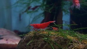 Bloody Mary Shrimp (Neocaridina davidi) Pack