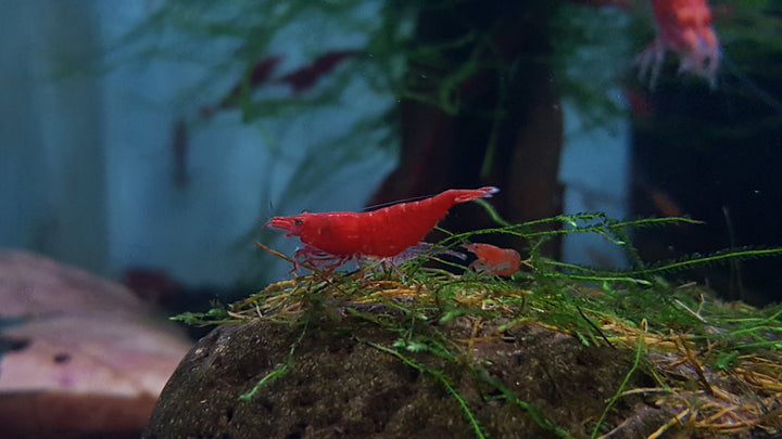 Bloody Mary Shrimp (Neocaridina davidi)