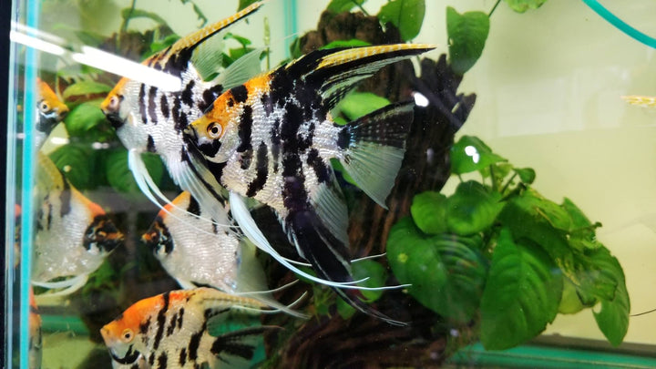 koi-angelfish-pterophyllum-sp.