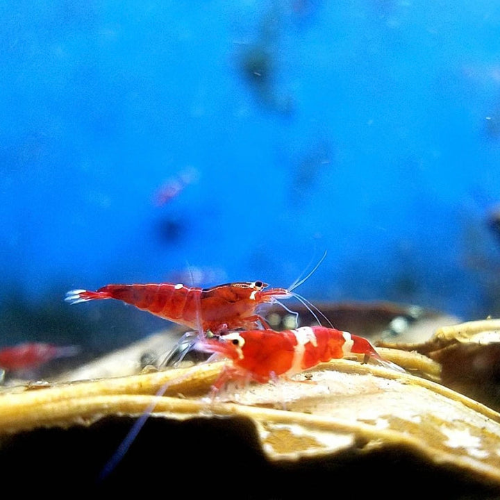 Taiwan Bee Red King Kong Mix (Caridina sp.)